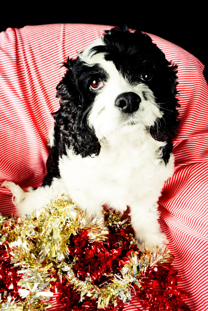 Holiday dog photo shoot